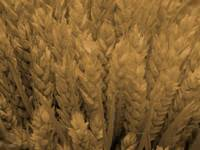 wheat - powerpoint backgrounds